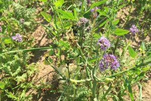 Projekt-Greifswalder-Agrarinitiative-Bienenweide-Guest01