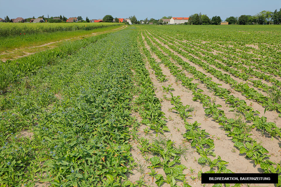 Feldwege-und-blühende-Ackersäume-agrar-gross-kiesow-umwelt-landwirt-blumen-acker-2